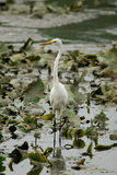 Egret. White Egret wadding in a swampy area in Illinois Royalty Free Stock Images
