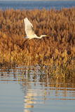 egret Royalty Free Stock Photography