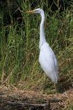 Egret. White heron on a natural background Stock Photos