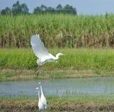 egret стоковые изображения rf