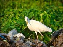 egret стоковое фото rf