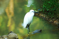 Egret Fotos de Stock Royalty Free