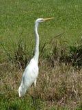 egret Arkivfoton