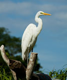 Egret. Detailed portrait of a white great egret Stock Photo