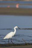 Egret #2 Royalty Free Stock Images