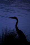Egret. Silhouette of an Egret Stock Photos