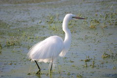 Egret. Is a beautiful bird with white plumage, which makes it look princely Stock Images