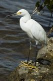 Egret. Beautiful egret watching out for food Stock Photography
