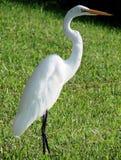 Egret. White egret standing on green grass stock photography