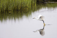 Egret Royalty Free Stock Image