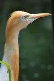 Померанцовый коричневый egret скотин смотря кос Стоковое Изображение