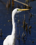 Egret Imagenes de archivo