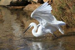 Egret стоковое изображение
