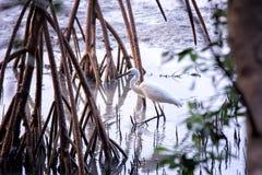 Egret Imagem de Stock