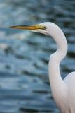 egret 3 большой стоковая фотография