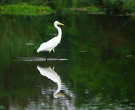 Egret. The Great Egret feeds in shallow water or drier habitats, spearing fish, frogs or insects with its long, sharp bill. It will often wait motionless for Stock Images