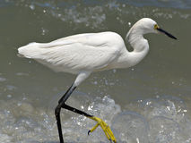 Egret. At the beach royalty free stock image