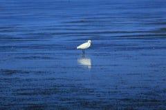 egret Fotos de archivo libres de regalías
