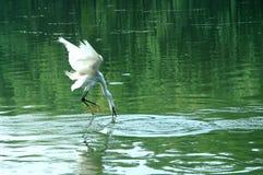 egret Stock Afbeeldingen