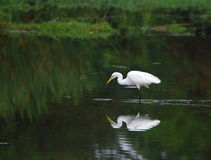 Free Egret Stock Photography - 4574512