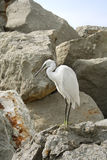 Egret. Stock Photography