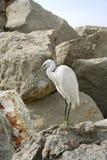 Egret. Fotografía de archivo