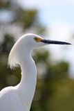 Egret. Side profile of a Snowy Egret in Florida Stock Image