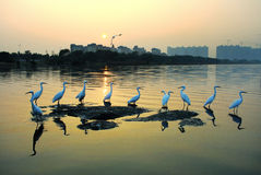 Egret. A group of egrets standing on the distant reef in the construction of the building is Royalty Free Stock Photo