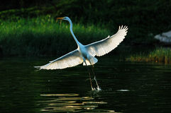 Egret. A flight of egrets Youth Pre-employment Training Stock Image