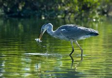 Egret. Grey Heron in a wetland Fishing Stock Images