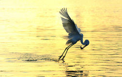 Egret. A flight of egrets Youth Pre-employment Training Royalty Free Stock Photography