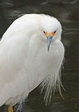 Egret Royalty Free Stock Image