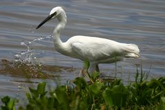 Egret. White Egret fishing the shallows of Lake Naivasha, Kenya Royalty Free Stock Image