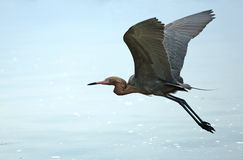 Рыжеватый egret летая над Мексиканским заливом, Флорида Стоковое Изображение RF