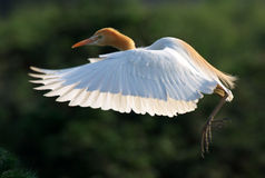 Egret. It is very beautiful egret Royalty Free Stock Photography