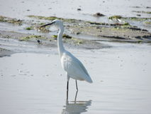 Free Egret Royalty Free Stock Images - 62947799