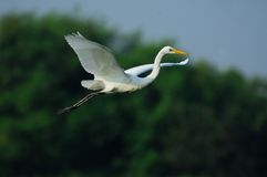 Egret. A shot of a Great Egret in the wild Stock Photos