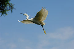 Egret. A shot of a Great Egret in the wild Stock Images