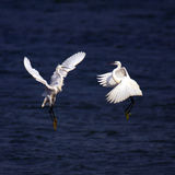 Egret. Two egrets are  fighting vehemently Stock Photos