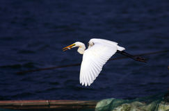 Egret. A egret is flying fastly Stock Photography