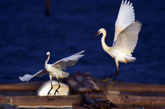 Egret. There are two beautiful egrets stock photography