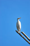 Egret  Royalty Free Stock Photos