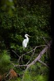 Egret. Perched on tree Stock Image