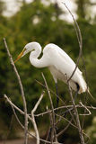 Egret. Great white Egret perched in brush Stock Photography