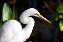 Egret. In direct sunshine Royalty Free Stock Photography