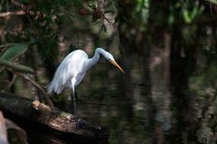 Egret,. Egret looking for food Royalty Free Stock Images