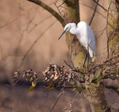 Egret. Perched in a tree watching for fish Stock Image