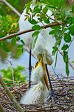 Egret adult and chick in nest Stock Photography