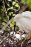 Egret adulto con los polluelos imagenes de archivo