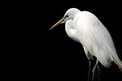 Egret aislado en negro Imagenes de archivo